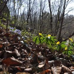 wiosenne runo leśne